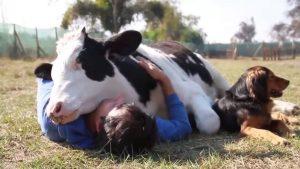 coccolare le mucche