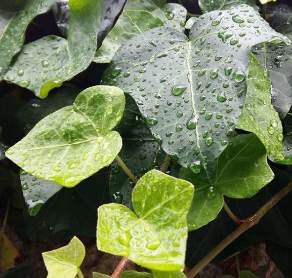 foglie cuoriformi di edera