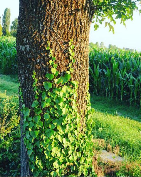 Hedera sul tronco di albero