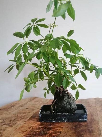 Heptaplerum arboriculum bonsai