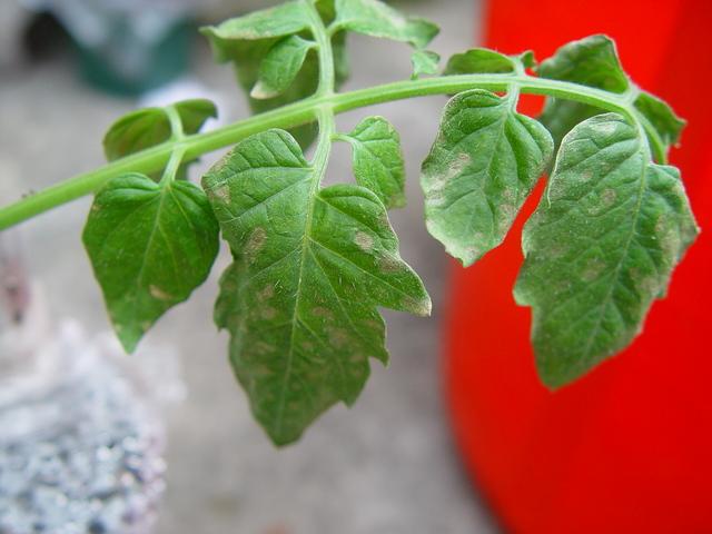 botrite pomodoro