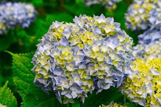 cespuglio di ortensie giallo azzurre