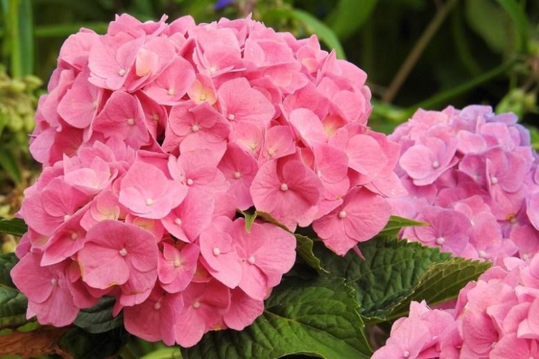 per far crescere ortensie rosa serve un terreno basico