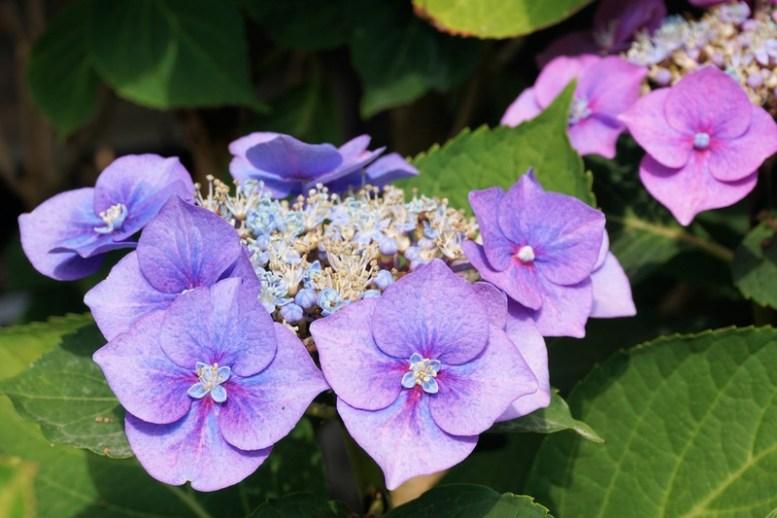 per far fiorire ortensie azzurro violetto serve un terreno acido