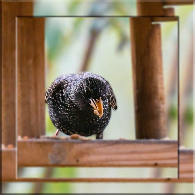 Vogel Star im Vogelhaus