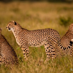 Cheetah (454F10409)