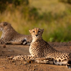 Cheetah and cub (454F10624)