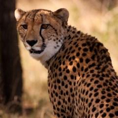 Cheetah (454F21111)