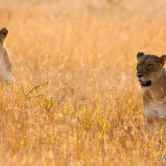 Lioness (454F21592)