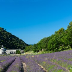 Lavender fields (454F23285)