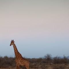 Giraffe (454F8348)