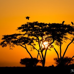 African sunset with storks (3J8A00082)