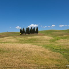 Lone copse of trees, Tuscany (454F28477)