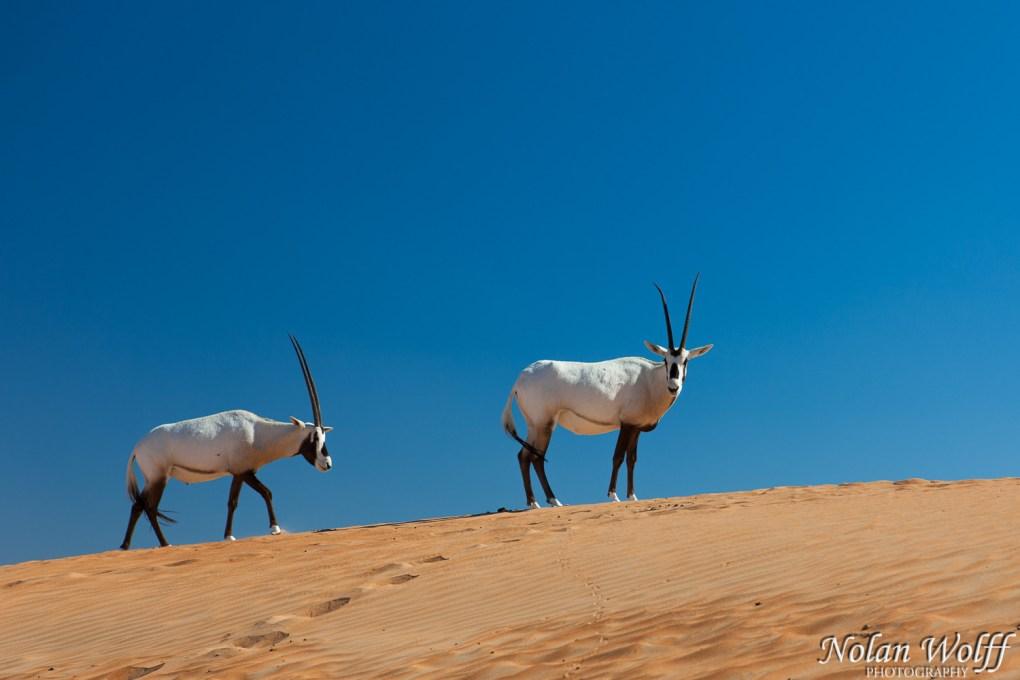 Pair of Arabian Oryx (454F34706)