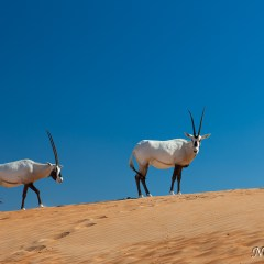 Pair of Arabian Oryx (454F34706)