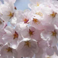 Cherry blossoms (454F41309)