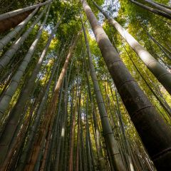 Bamboo forest (454F41407)