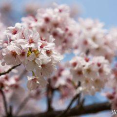 Cherry blossom trees (454F41915)