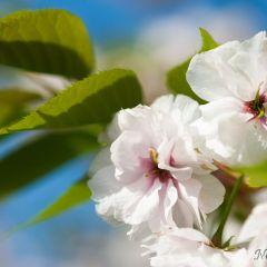 Cherry blossoms (454F43681)