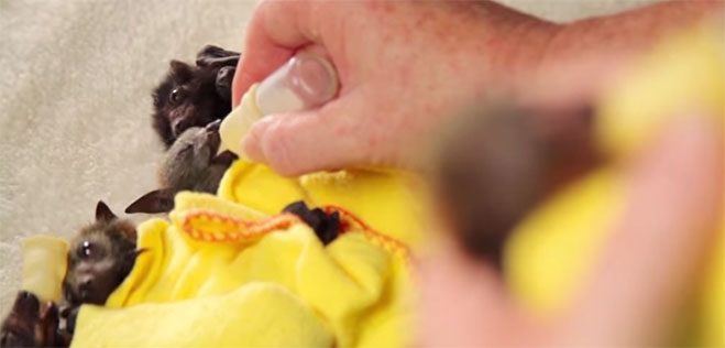 murcielagos-bebes-video