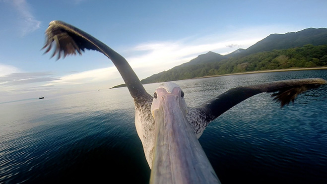 pelicano-aprendiendo-a-volar-gopro-2014