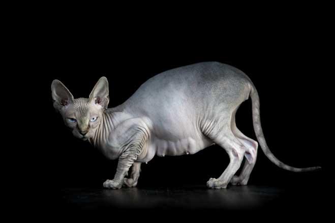 gato-esfinge-por-alicia-rius-01
