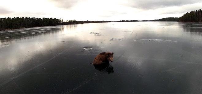 jabali-en-lago-baven-suecia