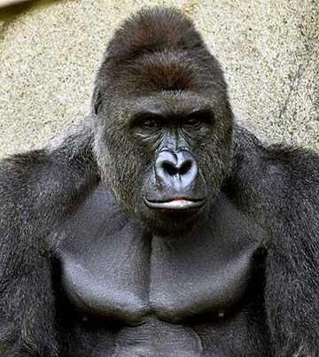 harambe-gorila-cincinnati