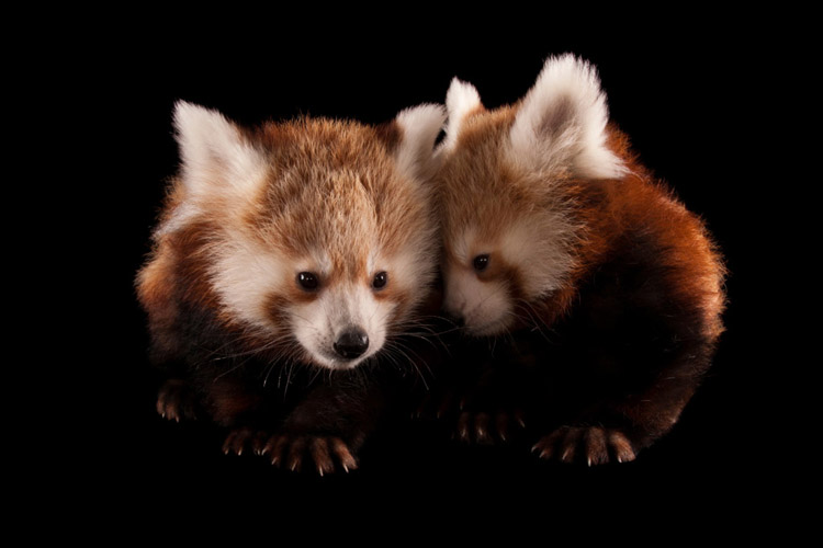 Twin three month old red pandas (Ailurus fulgens fulgens) at the Lincoln Children's Zoo.