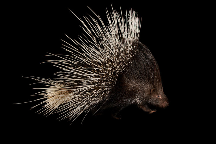 An Indian crested porcupine (Hystrix indica) at the Omaha Zoo.