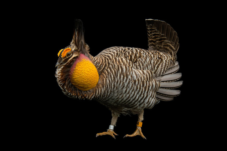 An endangered, booming Attwater's Prairie Chicken (Tympanuchus cupido attwateri) at the Caldwell Zoo in Tyler, Texas.