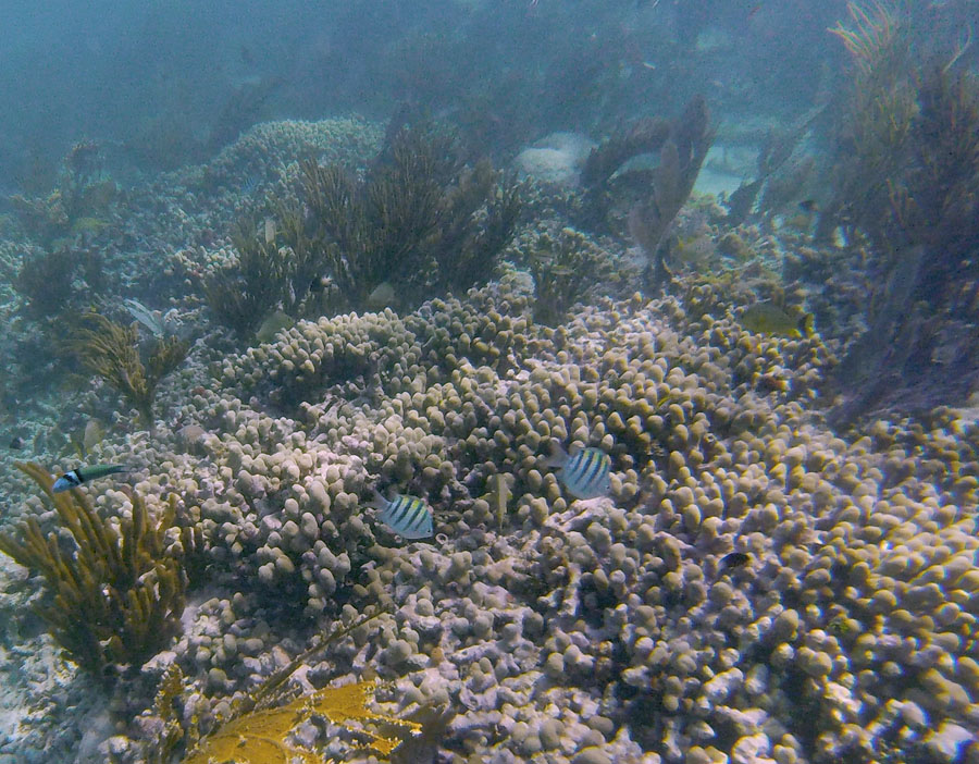 Striped fish swimming in front of coral in Biscayne National Park Florida