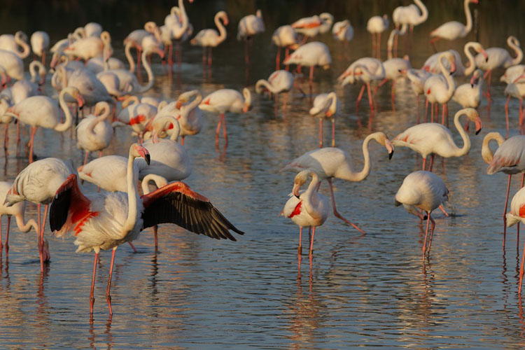 Flamingos in Camargue, France