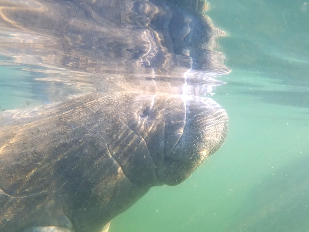 Manatee swimming in the Crystal River area