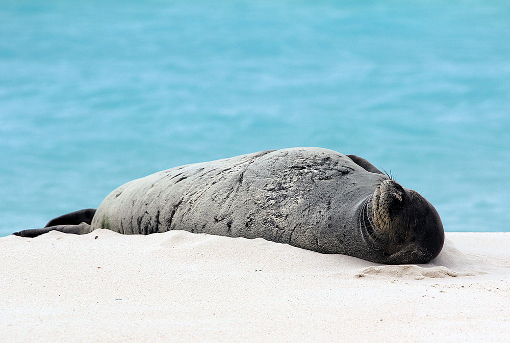 Hawaiian monk seal in Papahānaumokuākea