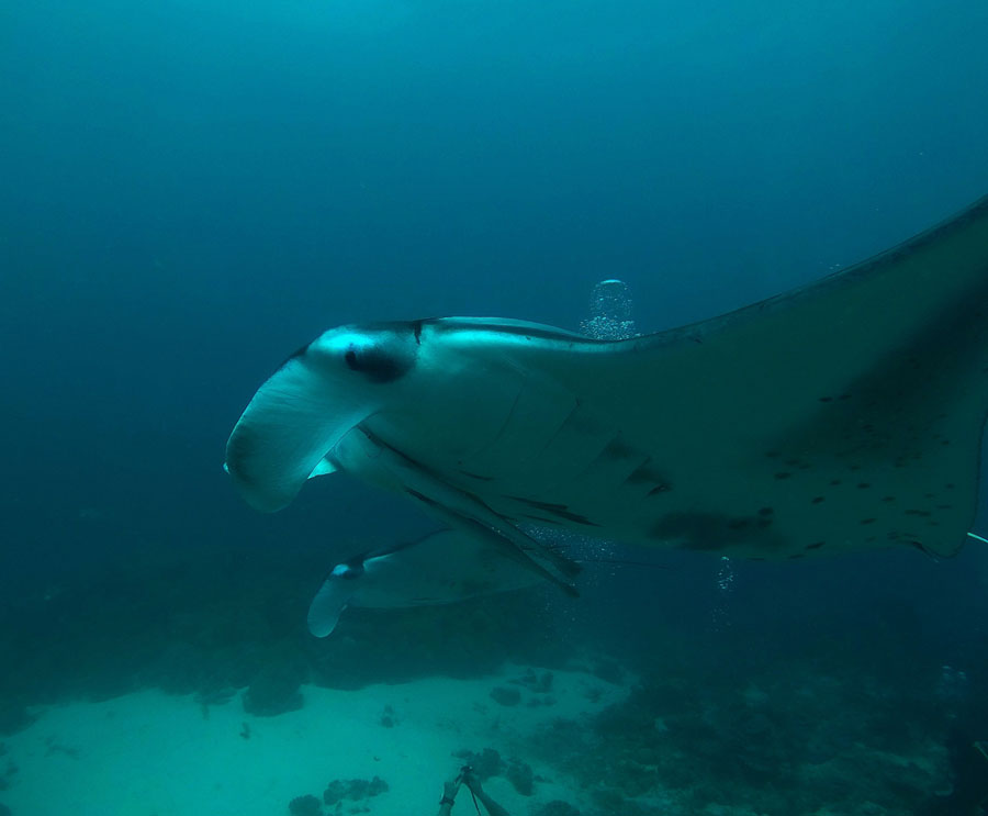 Giant manta ray swimming