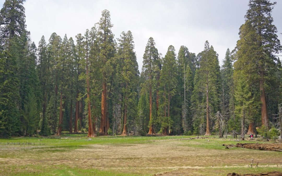 Broad meadow in Sequoia National Park with giant sequoia trees