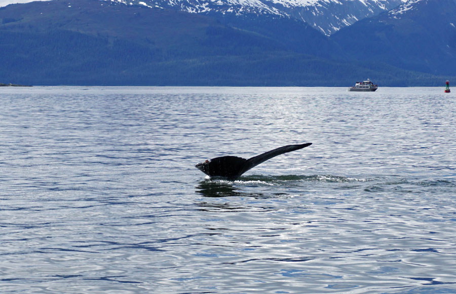 Whale tail above the surface of the water with Alaskan mountains in the background