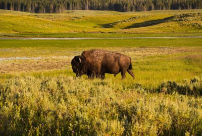 Bison roaming in a field - one of the many amazing things to do in the Great Plains States