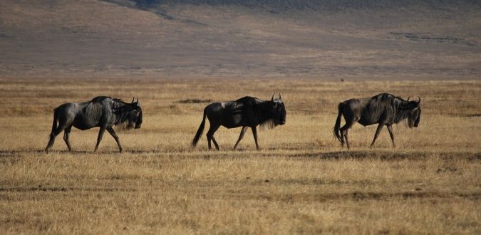 Three wildebeest on the Ngorogoro Crater in Tanzania