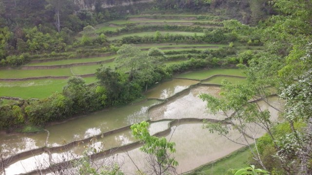 Lake Toba for Digital Nomads - Rice paddies