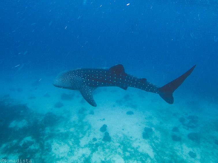 Nadar con tiburones ballena en Filipinas