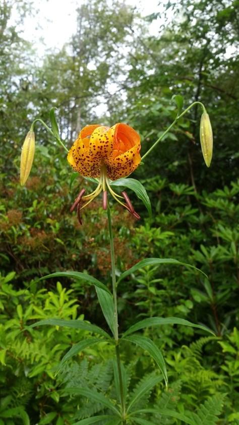 Turk's cap lily, Lilium superbum