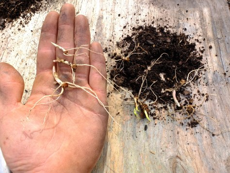 Propagation of Allium tricoccum from leftover rhizomes which were removed from their bulbs.