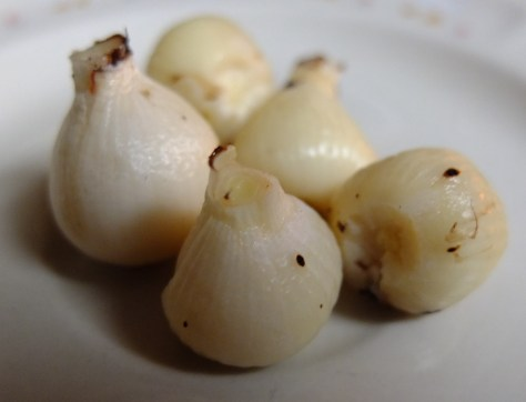 Camassia scilloides bulbs before slow-cooking