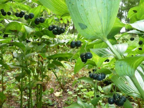Ripened berries of Giant Solomon's Seal.