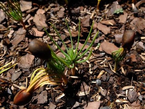 Seedling of two-needle pinyon pine, Pinus edulis.