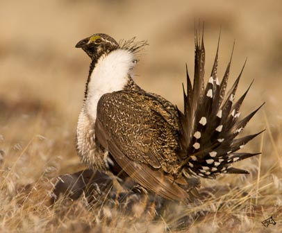 Great Sage-Grouse (Centrocercus urophasianus)