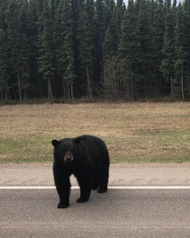 Bears on the Alcan Highway