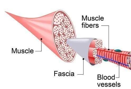 fascia anatomy, myofascial release
